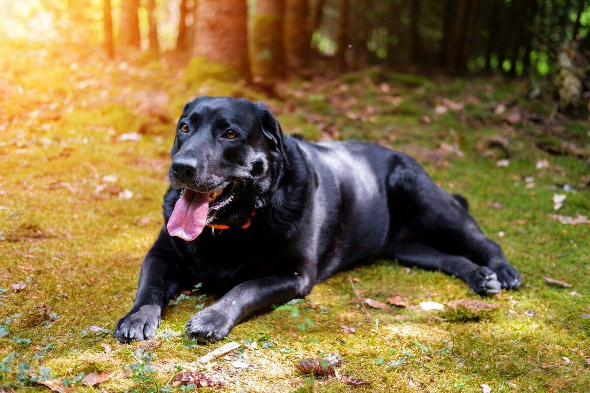 huấn luyện chó labrador