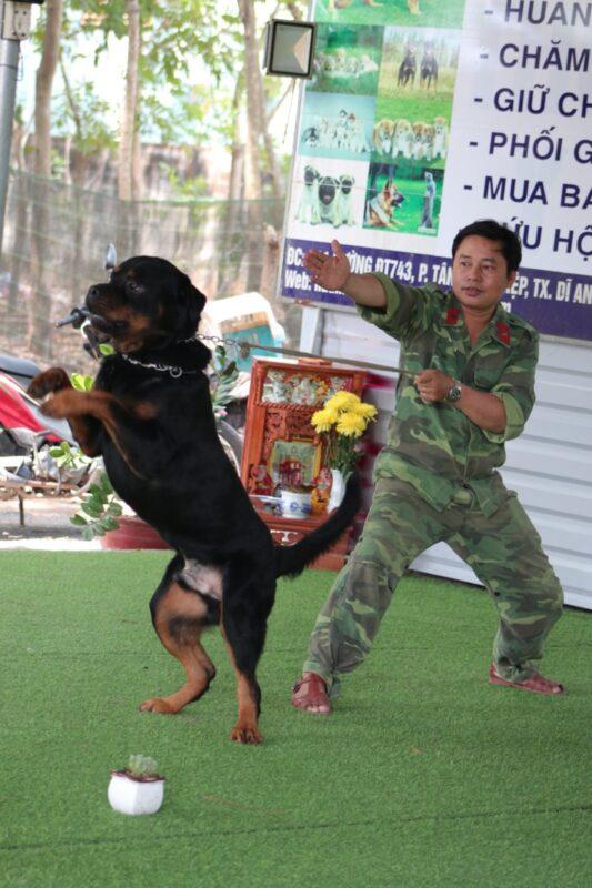 huấn luyện chó rottweiler