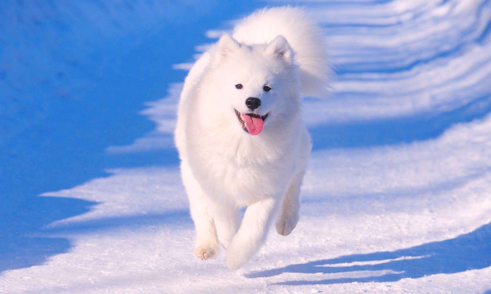 huấn luyện chó samoyed