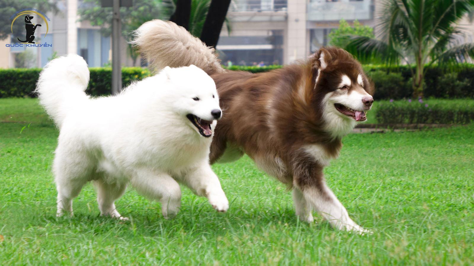 bí quyết chăm sóc chó alaska