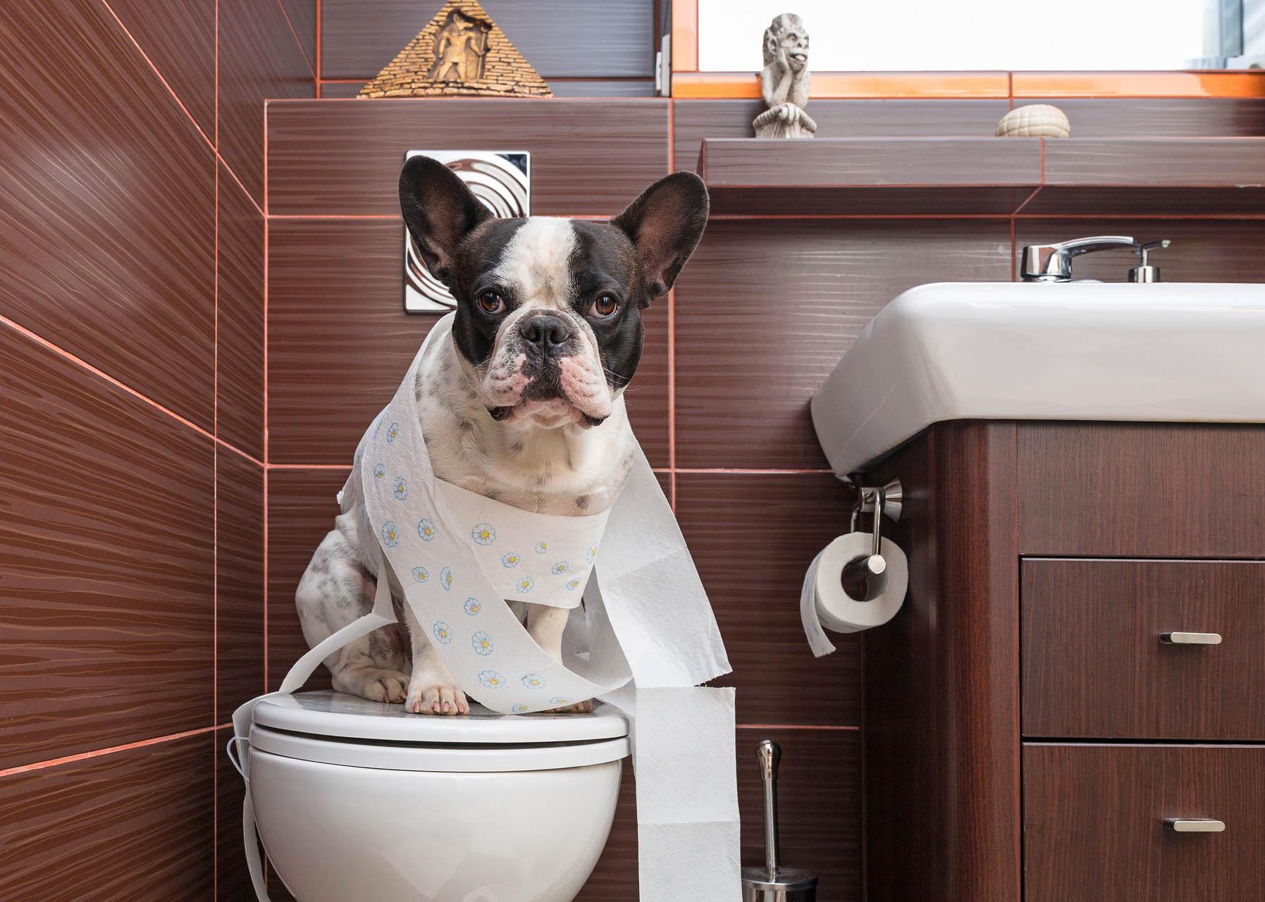 cách dạy chó đi vệ sinh đúng chỗ thành công 100%