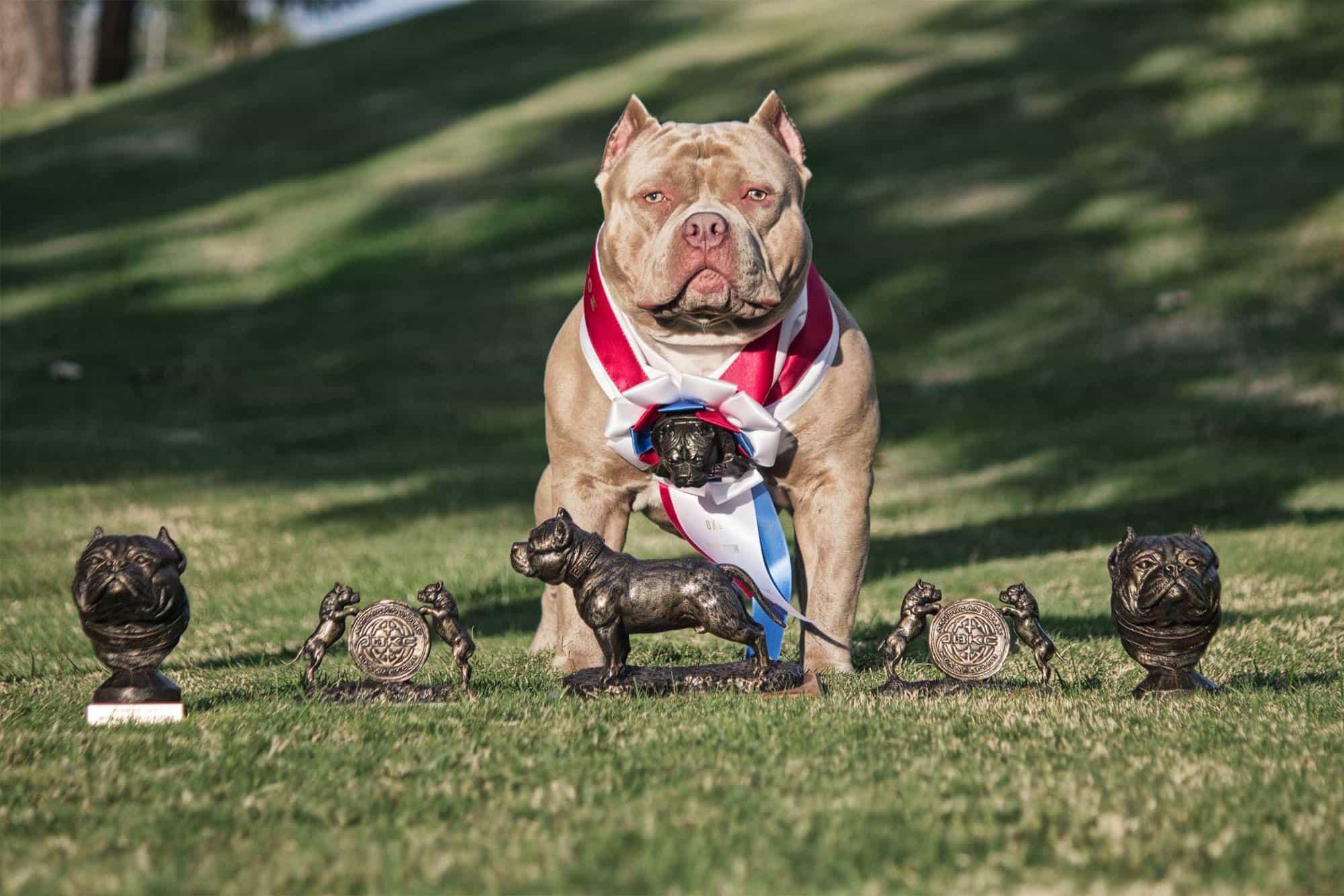 Huấn luyện chó Bully