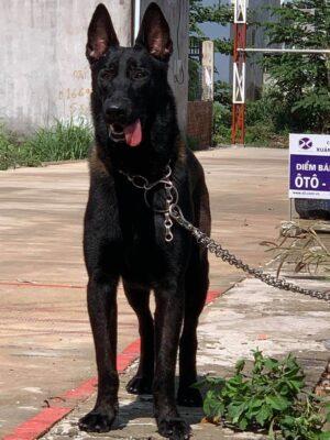 trường huấn luyện chó quận 2 uy tín chất lượng