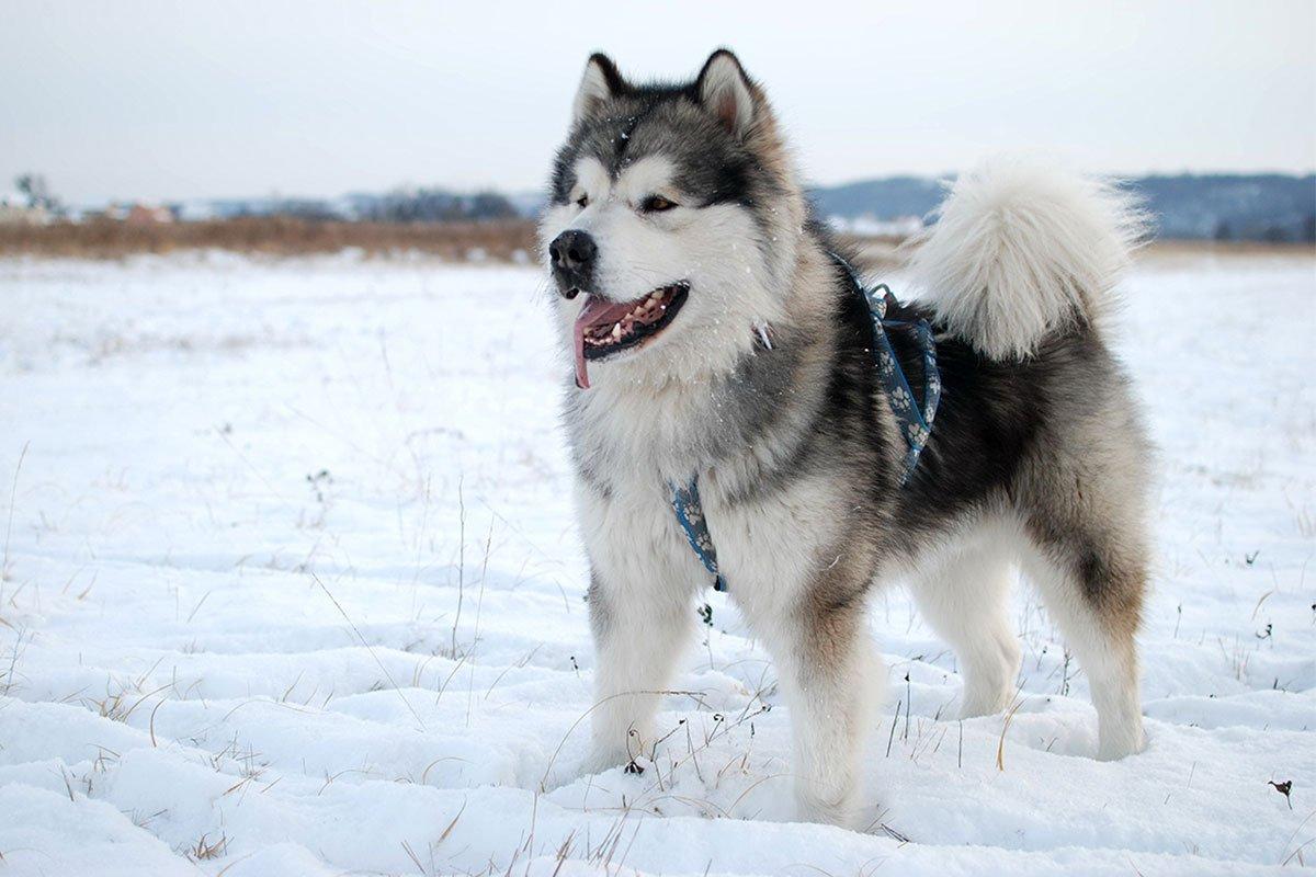 Bạn có nhầm lẫn giữa chó Alaska và Husky không? Phân biệt như thế nào nhỉ?