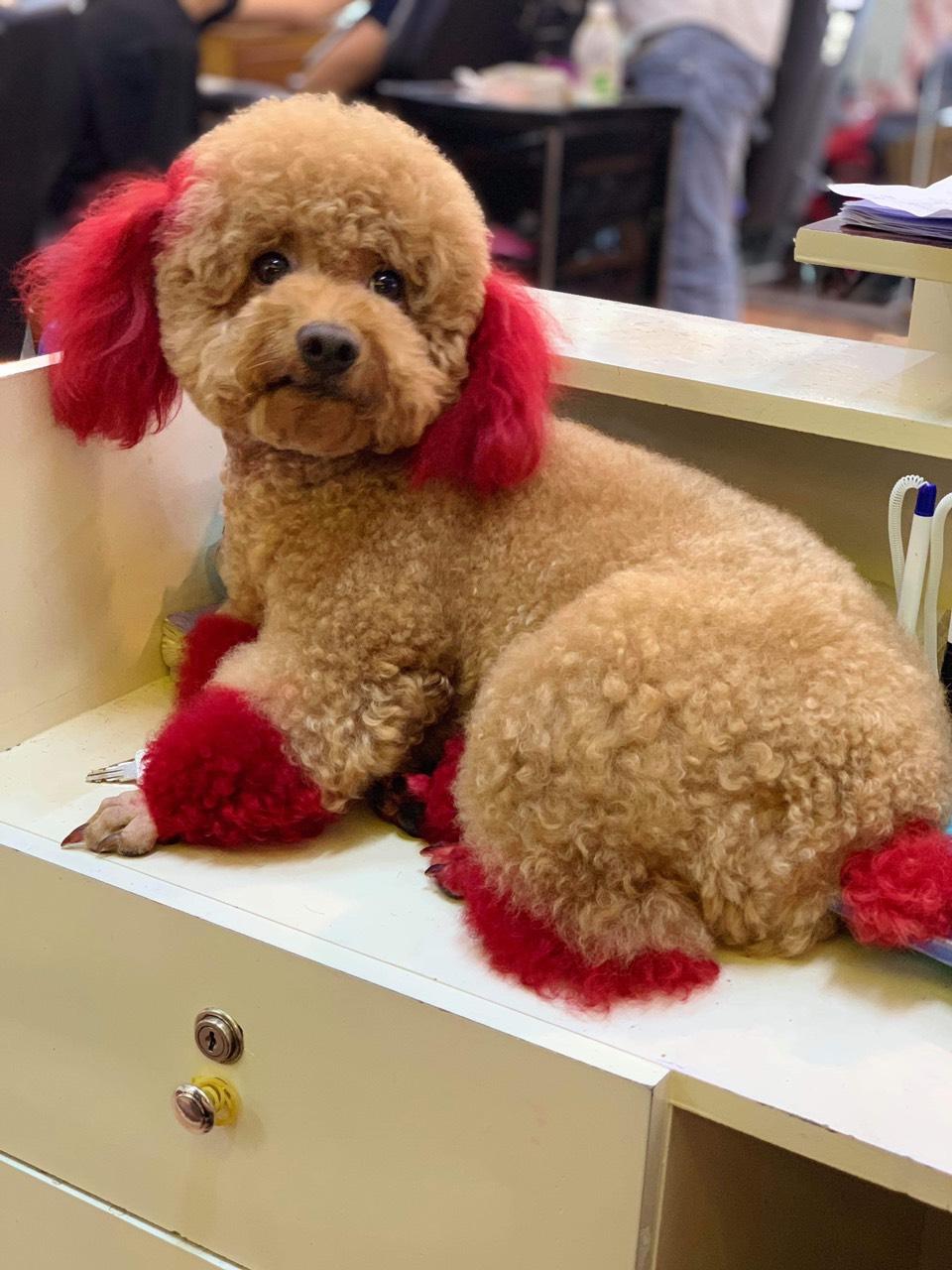 Các kiểu tỉa lông chó Poodle siêu chất - hướng dẫn chi tiết từ chuyên gia