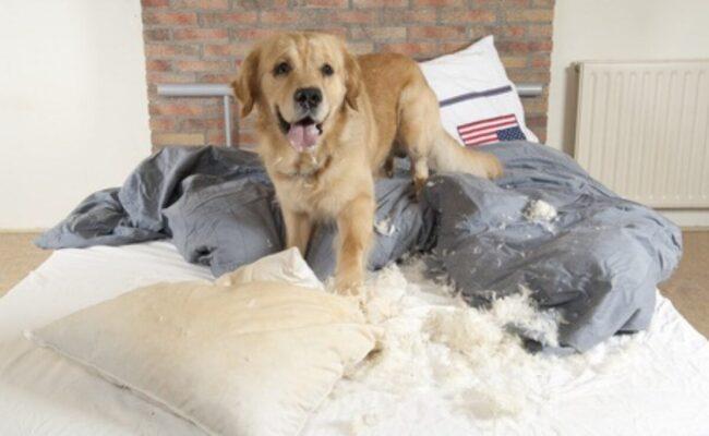 Cách huấn luyện chó con không cắn phá đồ đạc lung tung trong nhà