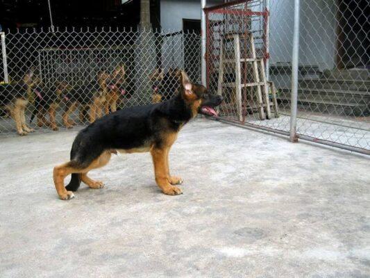 Chó bị hạ bàn là gì? Nguyên nhân và cách phòng ngừa chữa trị