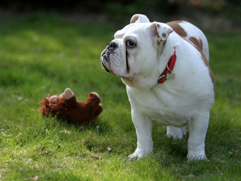 huấn luyện chó bull anh