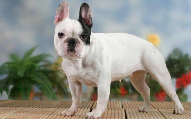 Chó Bull Pháp là giống chó đẳng cấp được giới nhà giàu ưa chuộng chọn lựa làm thú cưng. Chó Bull Pháp sở hữu ngoại hình ngộ nghĩnh, đáng yêu cùng trí thông minh tuyệt vời