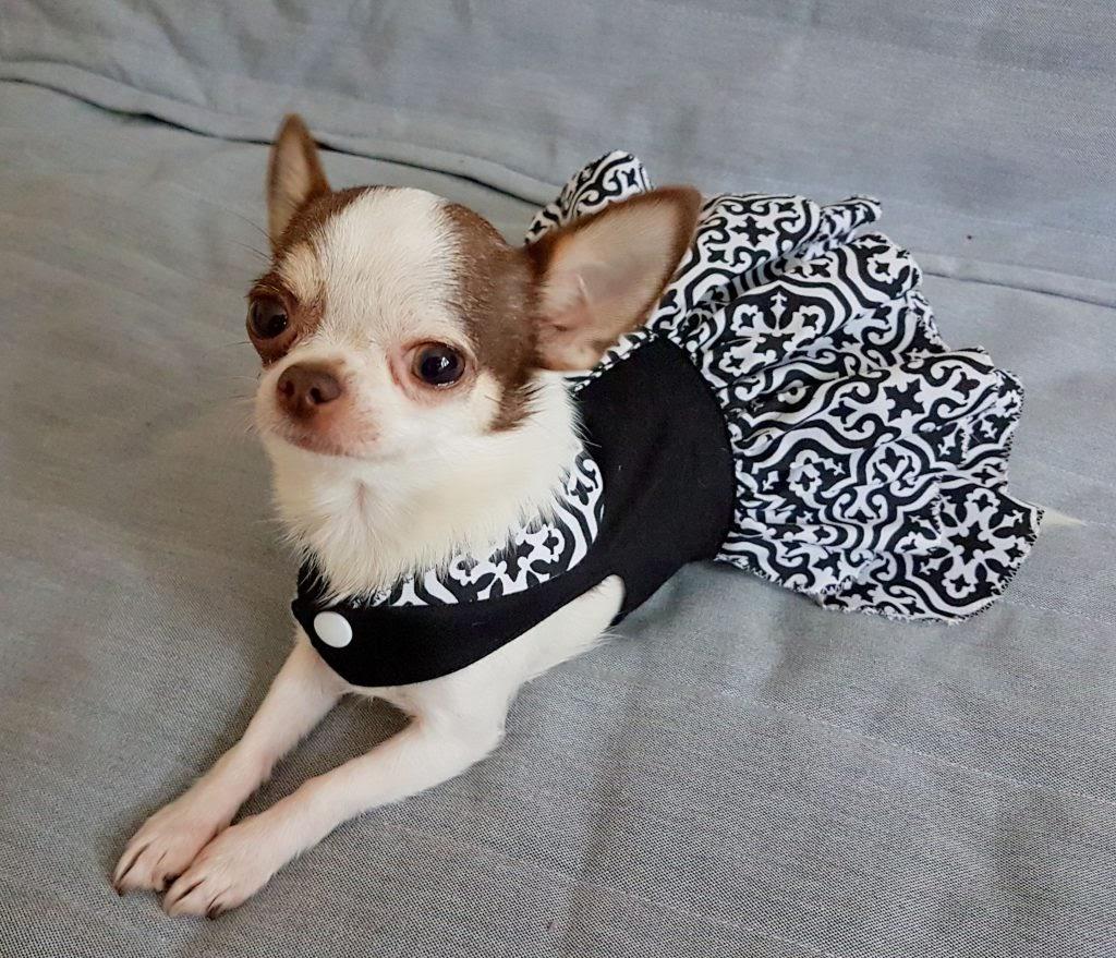 Huấn luyện chó Chihuahua