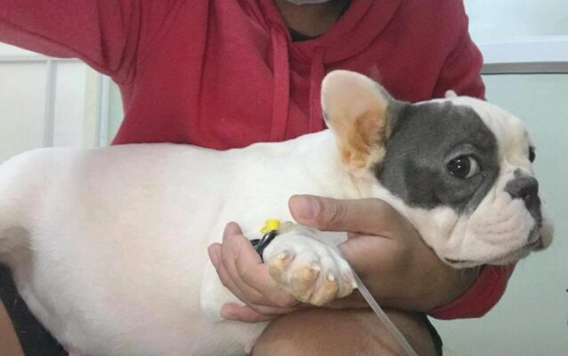 Tìm hiểu về bệnh Pravo và Lepto ở chó, các kiến thức cần thiết cho người nuôi